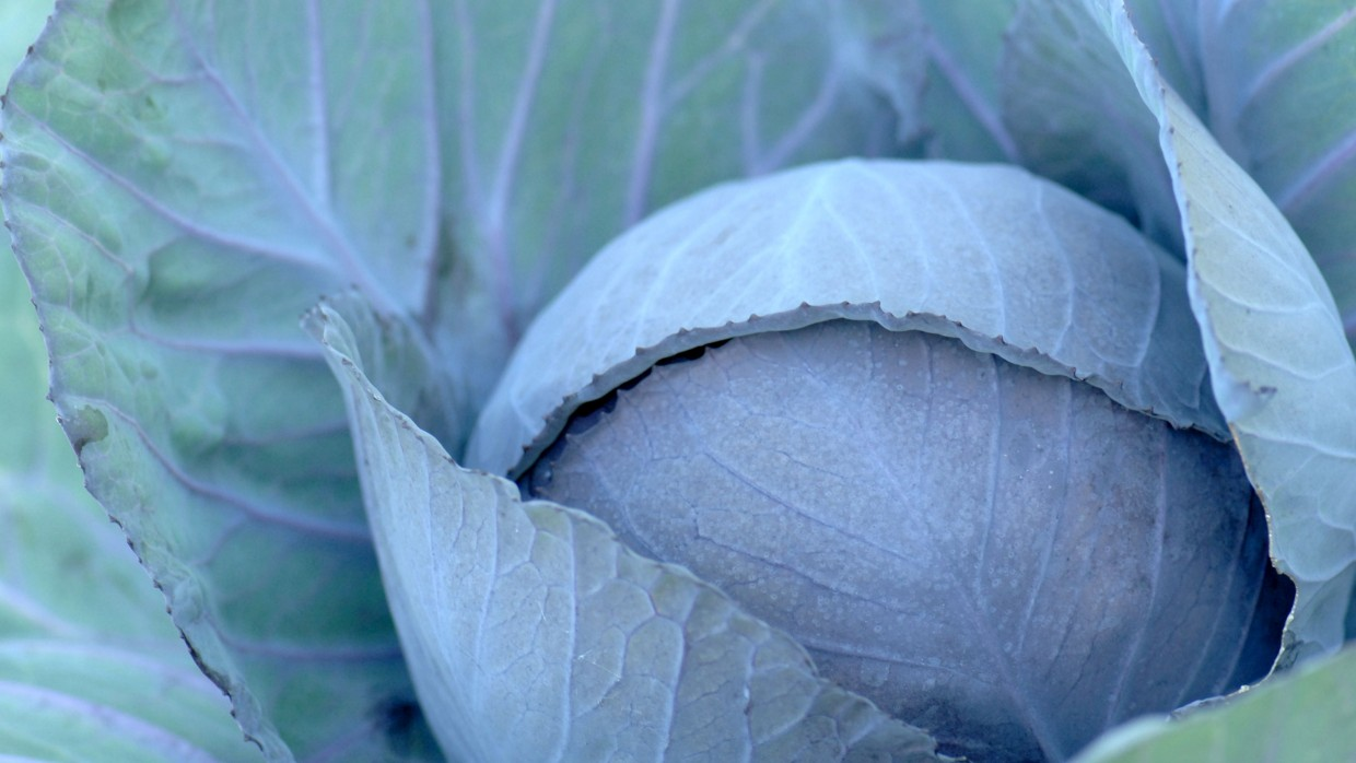 What's Fresh? Cabbage!