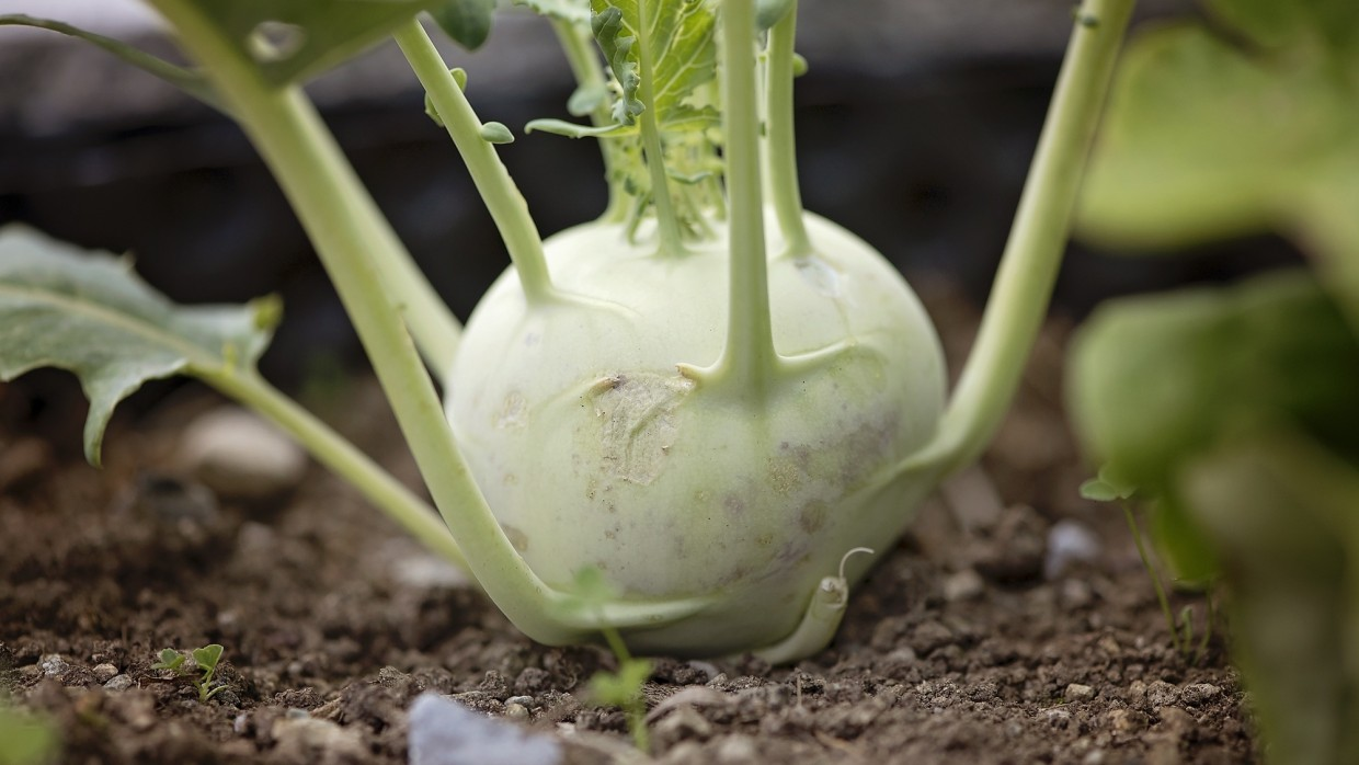 What's Fresh? Kohlrabi