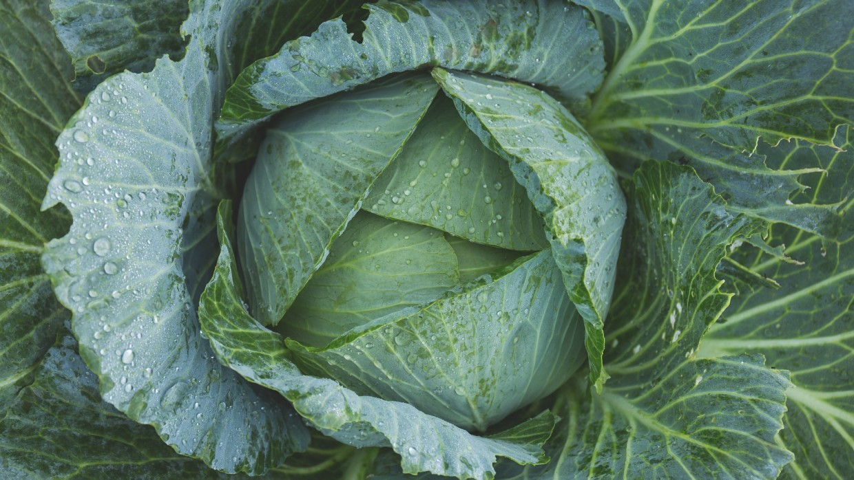 What's Fresh? Green Cabbage!