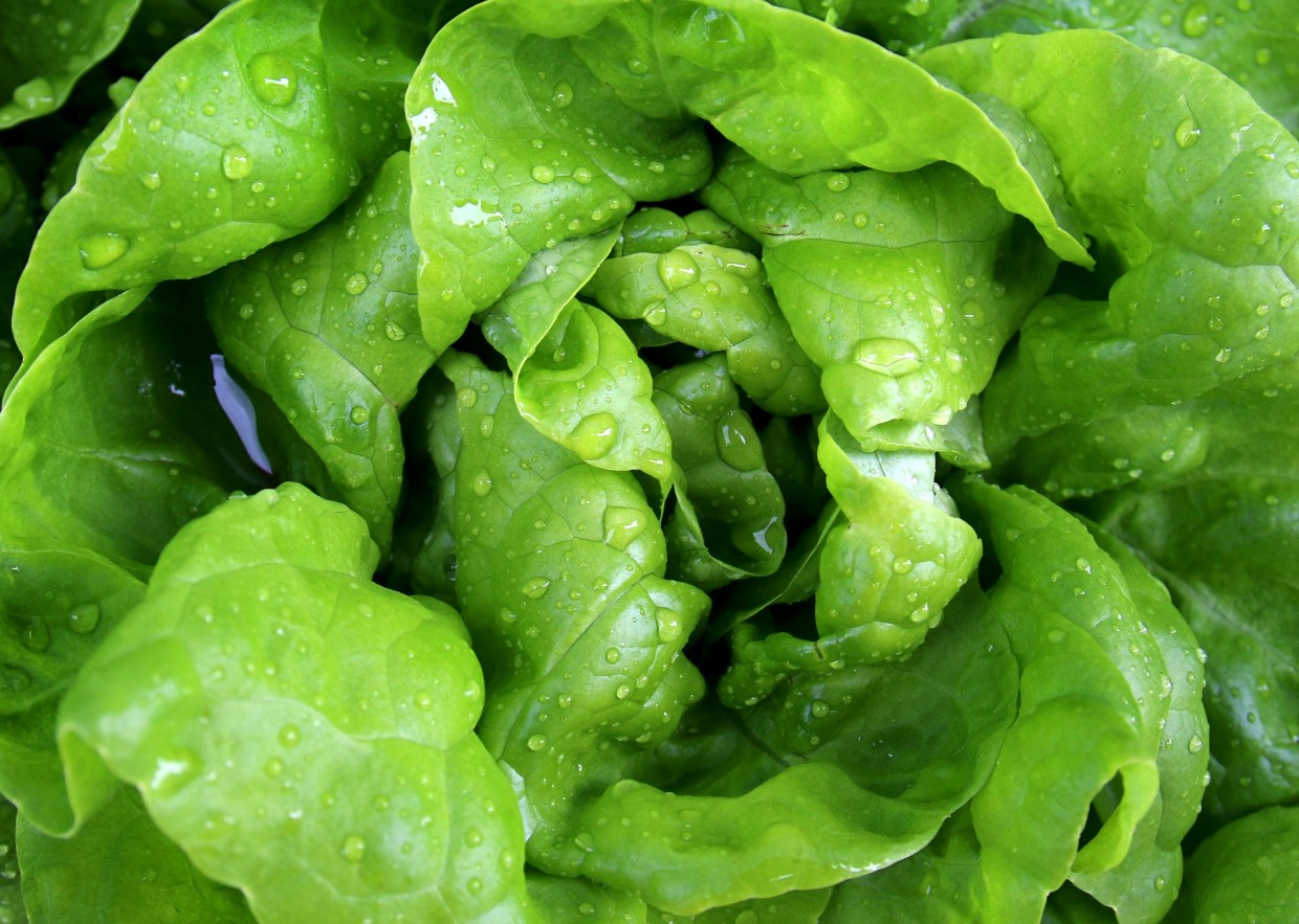 Fresh Deal: Local Butter Lettuce